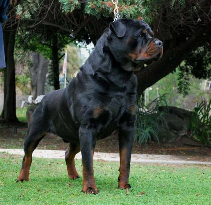Rottweiler Breeders In Germany