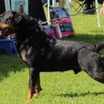 Rostock Rottweilers