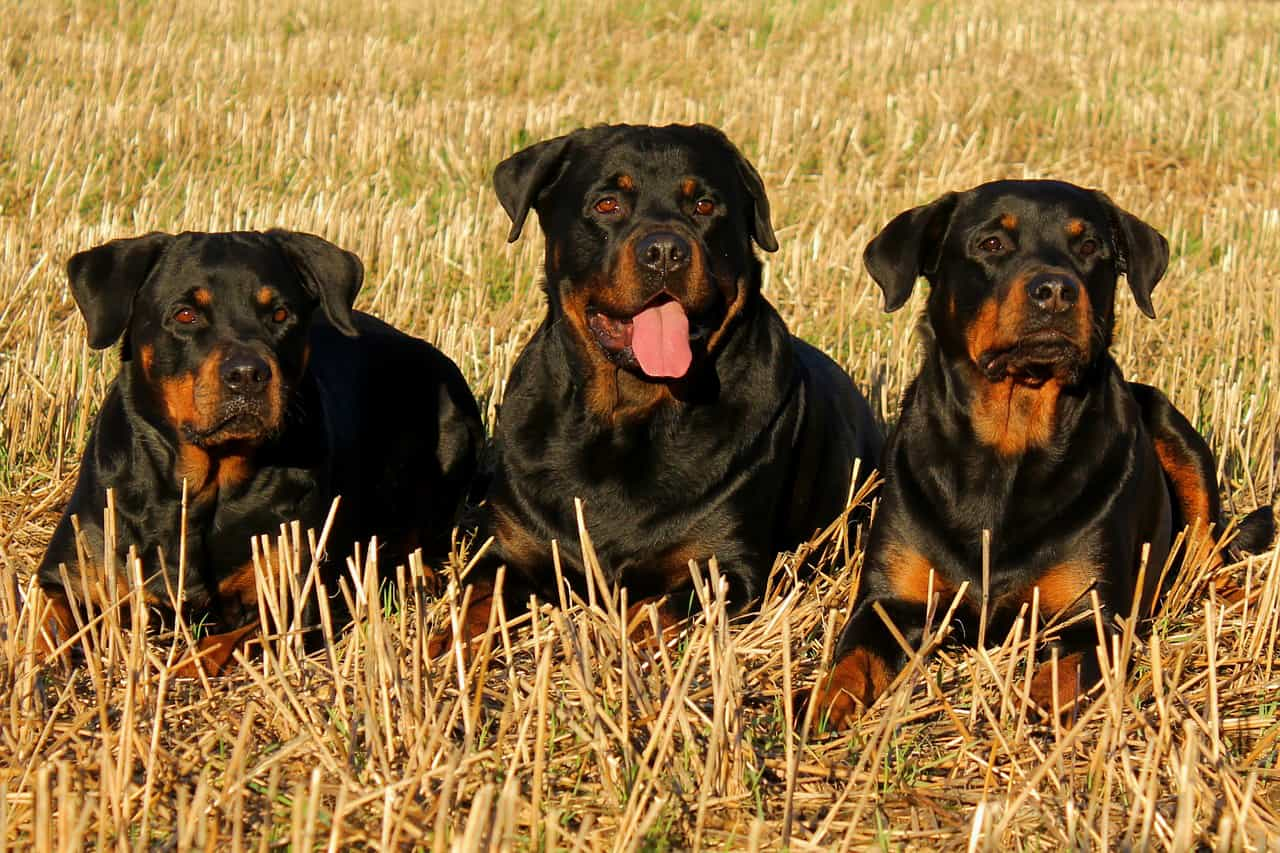 What is a rottweilers life expectancy rottweilerhq geenschuldenfo Choice Image