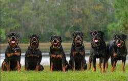 Good Dog Names For Male Rottweilers
