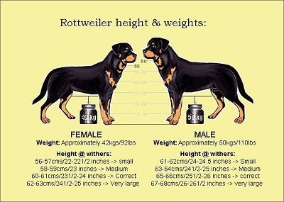 Rottweiler Lifespan Facts You Should Know Rottweilerhq