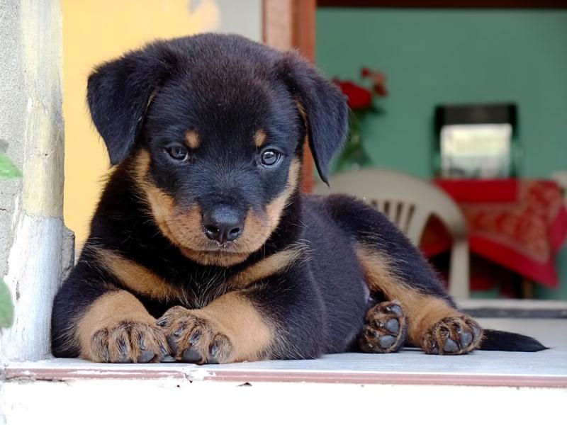 Potty Train Housebreak Your Rottweiler Puppy