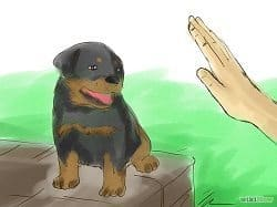 Teaching Rottweiler To Sit Down