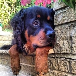 The Long Haired Rottie