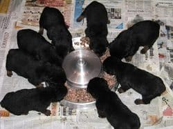 Puppy Healthy Diet