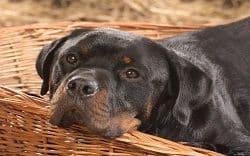 Relaxed Rottweiler