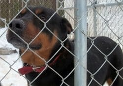 Rottweiler Shelter Rescue