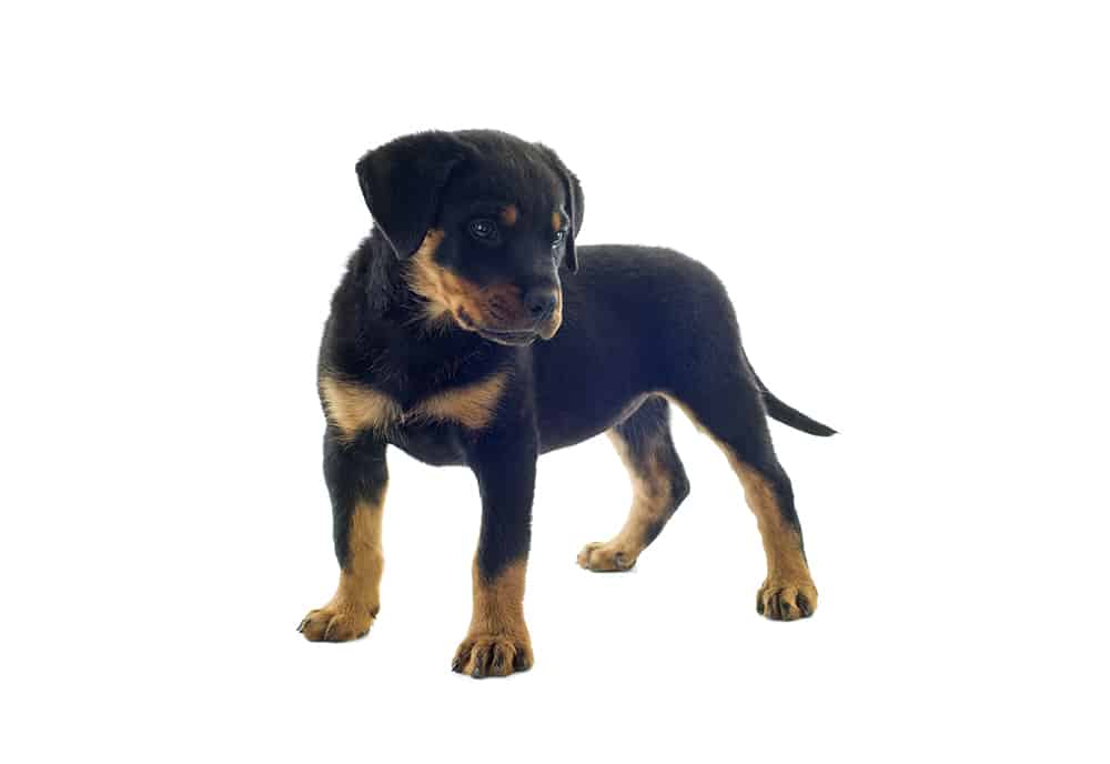 Importance Of A Healthy Rottweiler Diet Rottweilerhq