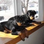 Rottweiler on The Furniture