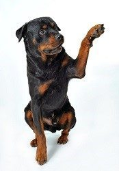 Rottweiler Training with clicker