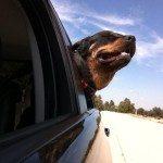 Rottweiler Car Trips