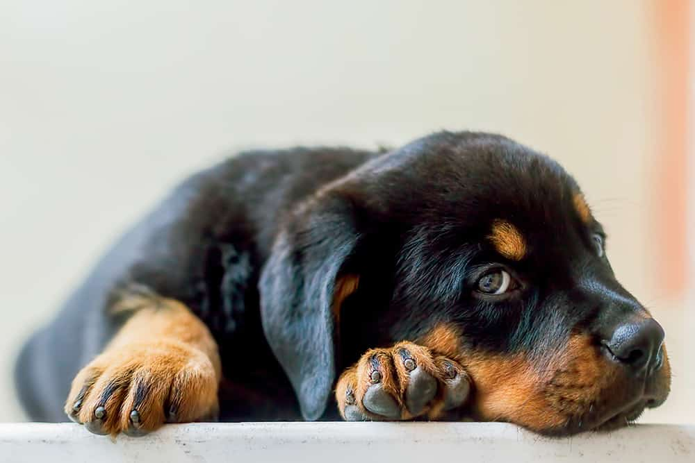 Rottweiler Behavior Problems List Of Articles On This Specific Topic